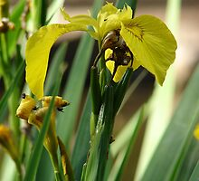 Yellow iris by Colorart
