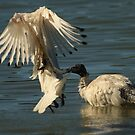 Shaking a tail feather by chloemay