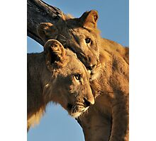Walking With lions - Victoria Falls, Zimbabwe # 3 Photographic Print