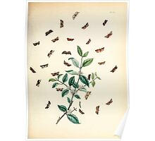 British moths and their transformations Henry Noel Humphreys and John Obadiah Westwood 1845 0213 Poster
