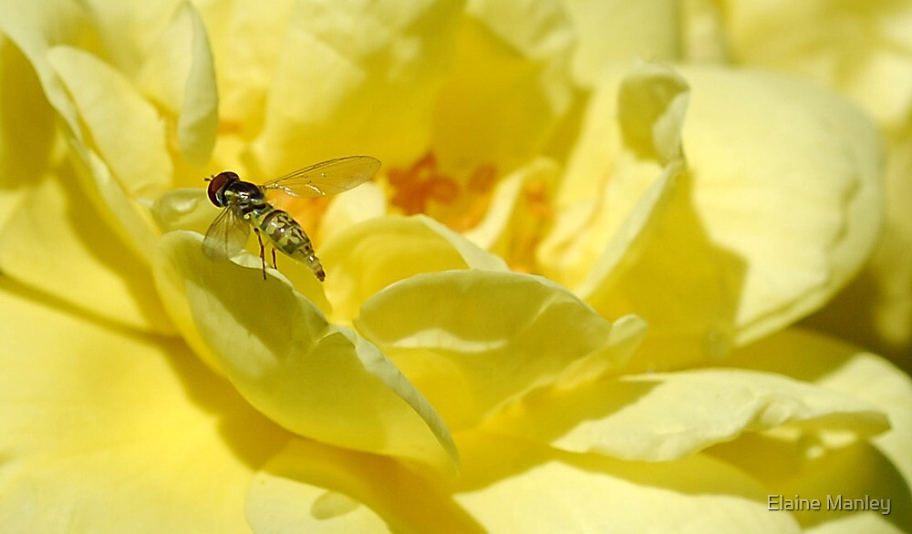 Yellow Rose and Bug by Elaine  Manley