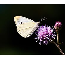 CABBAGE BUTTERFLY - remake Photographic Print