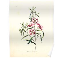 Floral illustrations of the seasons Margarate Lace Roscoe 1829 0104 Clarkia Futchella Poster
