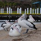 Pelicans - Lakes Entrance by Ken Jones