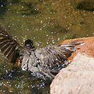 Bathing robin at Ward-Meade by agenttomcat