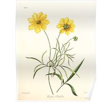 Floral illustrations of the seasons Margarate Lace Roscoe 1829 0130 Coreopsis Grandiflora Poster