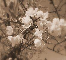 cherry blossoms in the sky, sepia by Dawna Morton