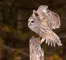 Scratch Landing / Barred Owl by Gary Fairhead