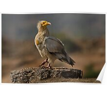 Pride -Egyptian Vulture  Poster