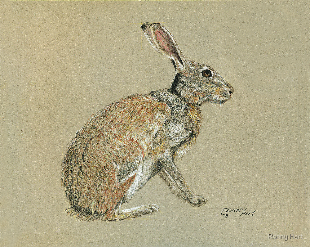 Jackrabbit by Ronny Hart