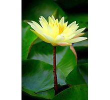 Single Yellow Waterlily Photographic Print