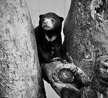 Favourite Climbing Place for Baby Sun Bear by gottheshot