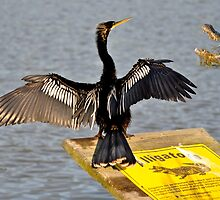 I Guess Anhinga's Can't Read by TJ Baccari Photography