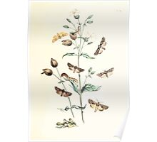 British moths and their transformations Henry Noel Humphreys and John Obadiah Westwood 1843 0247 Poster