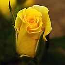 A Single Yellow Rose Bud by kittyrodehorst