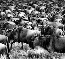 Wildebeest by BlaizerB