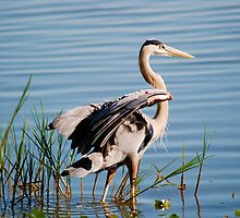 Great Blue Heron by michaelBstone