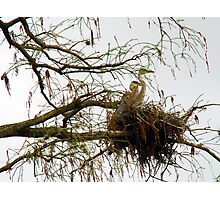Great Blue Heron Infants Photographic Print