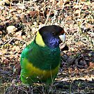 Parrot Down by Rick Playle