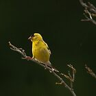 Presenting an American Gold Finch by David Friederich