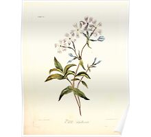 Floral illustrations of the seasons Margarate Lace Roscoe 1829 0074 Phlox Divaricata Poster