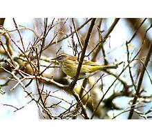 Palm Warbler #2986b Photographic Print
