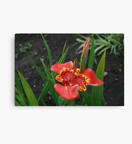 Red Mexican Shell Flower Canvas Print