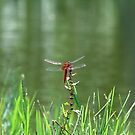 A Red in the Long Grass by kibishipaul