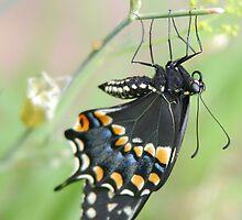 Black Swallowtail  by Rebecca Bridges