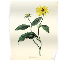 Floral illustrations of the seasons Margarate Lace Roscoe 1829 0142 Rudbeckia Hirta Poster