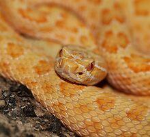 Albino Prairie Rattlesnake by Chris Morrison