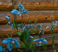 Blue Poppies by Sally Winter