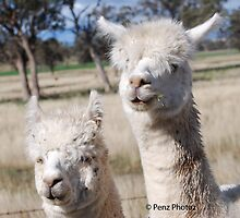 Look wandered up to us in the Ute by Penny Brooks