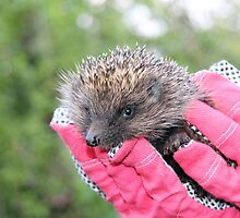 A Hedgehog saved to Live Life Anew by Dennis Melling