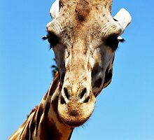 Giraffe, SD Wild Animal Park by lu138