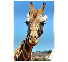 Giraffe, SD Wild Animal Park Poster