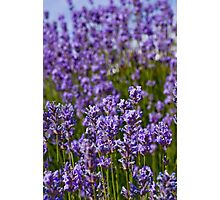 Lavender Hill Photographic Print