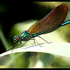 Beautiful Demoiselle by Robert Karreman