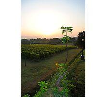overlooking the vineyard Photographic Print