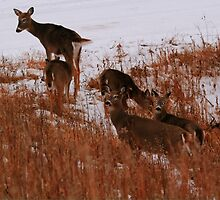 The Whitetails by Larry Trupp