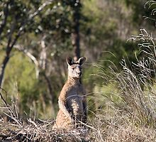 Eastern Grey Kangaroo by EnviroKey