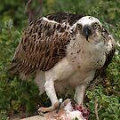 Osprey by Jon Staniland