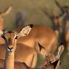 Impala by Yves Roumazeilles