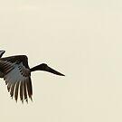 Jabiru Stork by Yves Roumazeilles