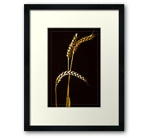 Golden Barley  Framed Print