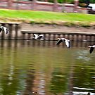 Formation Flight on the River Ouse - York by Trevor Kersley