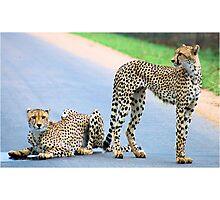 THE CHEETAH PAIR - Endangered species Photographic Print