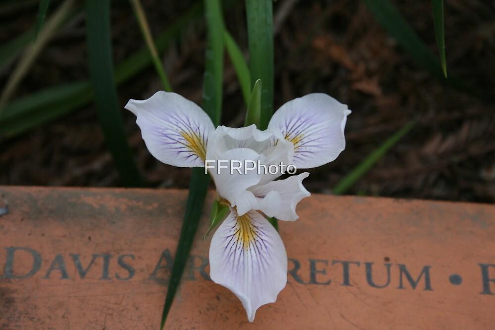 White Iris - UC Davis Arboretum by FFRPhoto