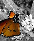 Malay Lacewing Butterfly by Sally Green