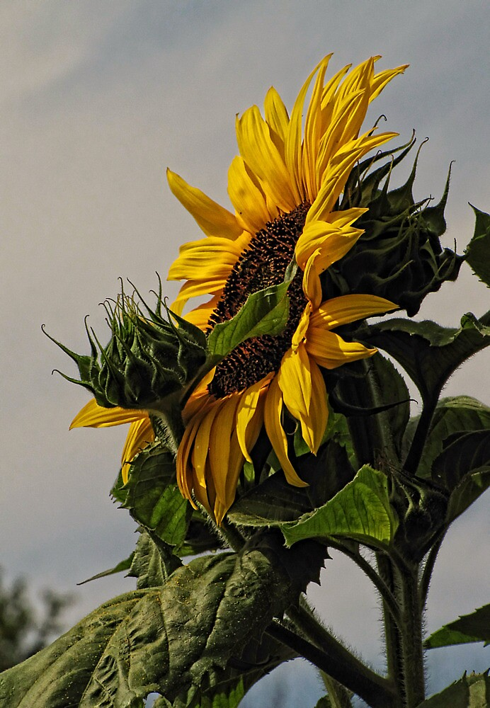 Rising with the Sun by Pamela Phelps